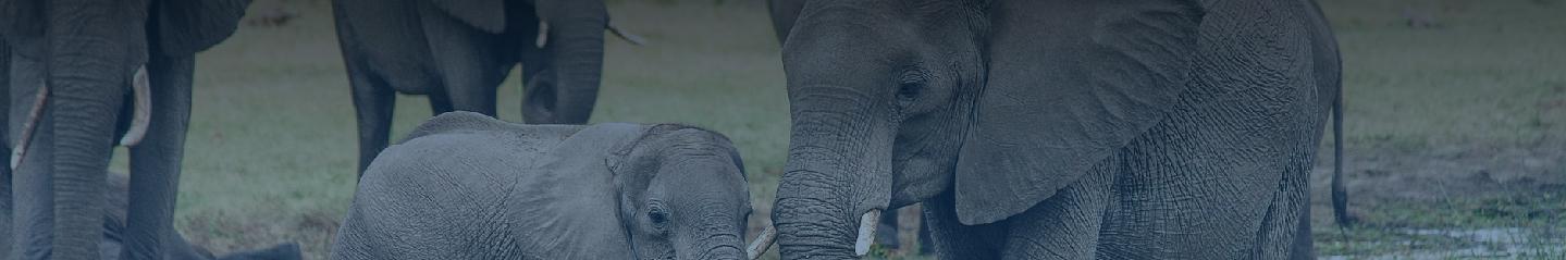 inner Banner elephant